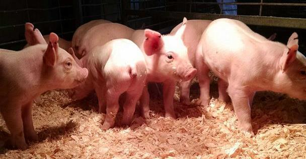 The kids really enjoyed watching the piglets play and run around!